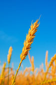 Wheat ear and blue sky — Stock Photo
