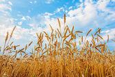 épis de blé et bleu ciel nuageux — Photo