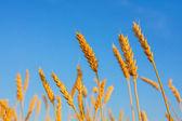 Wheat ears and blue sky — Stok fotoğraf