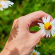 Ladybird on a camomile in male hand - Stock Photo