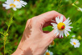 Ladybird on a camomile in male hand — Stock Photo