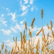 Wheat ears and blue cloudy sky — Stock Photo