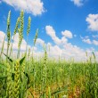 Stock Photo: Wheat ears and cloudy sky