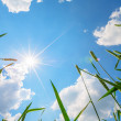 Wheat ears and sky with sun — Stock Photo