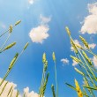 Wheat ears and cloudy sky — Stock Photo