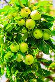 Dojrzałe jabłka — Zdjęcie stockowe