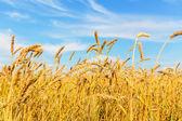 Uši pšenice — Stock fotografie