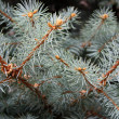 Blue spruce — Stock Photo #38194483