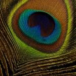 Peacock Feather on black background macro closeup — Stock Photo #13535973