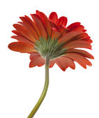 Gerbera rouge isolé sur fond blanc — Photo