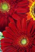 Beautiful gerbera flowers, close up — Stock Photo