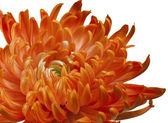 Orange chrysanthemum close up — Stock Photo