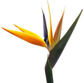 Bird of Paradise Flower on White Background — Stock Photo