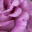 Royalty-Free Stock Photo: Beautiful rose after rain closeup
