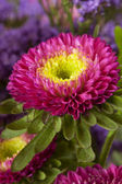 Spring aster. floral background closeup — Stock Photo