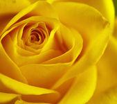Acercamiento del arte de las flores. rosa amarilla. — Foto de Stock