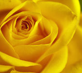 Flowers art closeup. Yellow rose. — Stock Photo