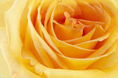 Yellow rose. Floral background — Stock Photo