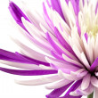 Purple chrysanthemum. Isolated on white background — Stock Photo