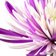 Stock Photo: Purple chrysanthemum. Isolated on white background