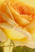 Flowers closeup. Yellow rose. Floral background — Stock Photo