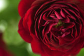 Flowers art closeup. Red rose. Floral background — Stock Photo
