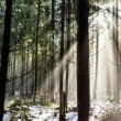 Stock Photo: Forest in winter season
