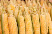 Freshly harvested corn — Stock Photo