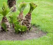 在公园的棕榈树 — 图库照片