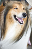 Tan and white Shetland Sheepdog — Stock Photo