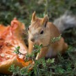Squirrel eating pumpkin - Stock Photo