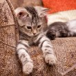 Stock Photo: Gray cat on sofa