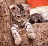 Gray cat on a sofa — Stock Photo
