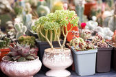Cactus in a nursery — Stock Photo