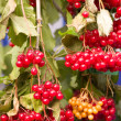 Arrow wood red berries closeup — Stok fotoğraf