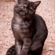 Stock Photo: Gray kitten