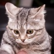 Gray kitten — Stock Photo