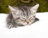 Beautiful Scottish young cat — Stock Photo