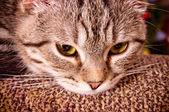 Portrait of grey cat — Stock Photo