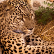 Leopard — Stock Photo #24229583