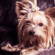 Puppy yorkshire terrier — Stock Photo