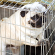 Funny pug puppy — Stock Photo