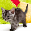 Beautiful Scottish young cat — Stockfoto