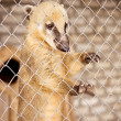 South American coati (Nasua nasua) — Stock Photo