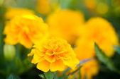 Orange marigolds — Stock Photo