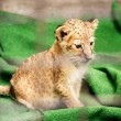 Leopard baby sitting on a green carpet — Stock Photo
