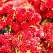 Red flowers closeup — Stock Photo
