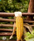 Mazorca de maíz seca en una valla rural — Foto de Stock