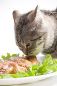 Beautiful Scottish young cat eating chicken wings — Stock Photo