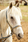 Grey Horse — Stock Photo